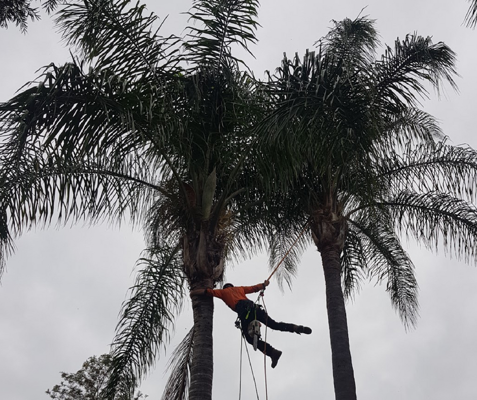 Palm Trees Maintenance